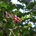 Le houx a feuilles épineuses ( Ilex aquifolium)