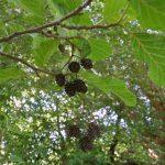 L'Aulne glutineux (Alnus glutinosa)