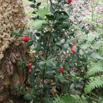 Petit houx ( Ruscus aculeatus), originaire de Méditérrannée