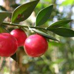 Ses fruits aparaissent en hiver et des feuilles étaient utilisées pour le ramonage
