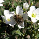 Sabline des montagnes et abeille