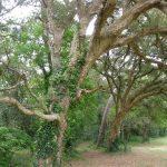 Le chêne liège, présent dans le sud des Landes depuis plusieurs milliers d'années. Cette zone est la plus septentrionale pour l'espèce.