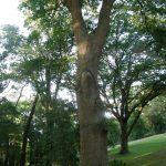 L'exploitation intensive du chêne donne à ces exemplaires du golf valeur de rareté