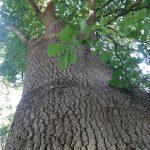 Le chêne commun grandit autant que son métabolisme le permet